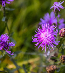 More about Nevädza lúčna modrá - Centaurea jaceae - semená nevädze - semiačka - 200 ks