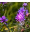 Nevädza lúčna modrá - Centaurea jaceae - semená nevädzy - semiačka - 0,3 gr