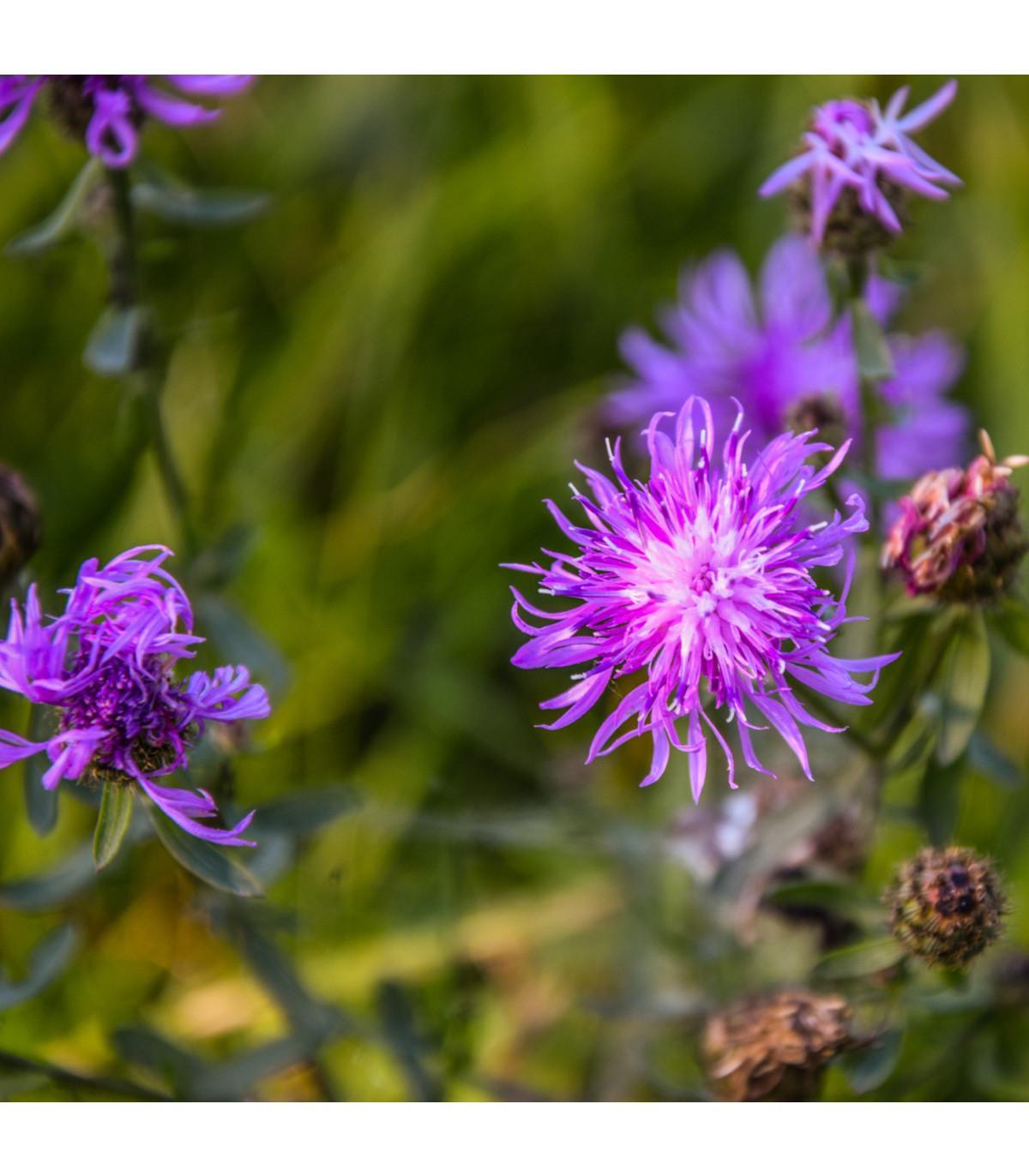 Nevädza lúčna modrá - Centaurea jaceae - semená - 200 ks