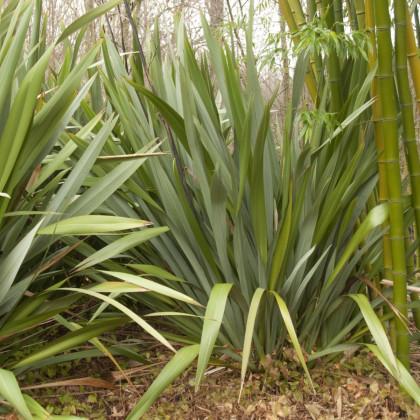 Ľanovník novozélandský - Phormium tenax - semená ľanovníka - 6 ks