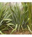 Lenovník obyčajný - Ľan Novozélandský - Phormium tenax - semená - semiačka - 6 ks