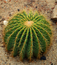 Echinokaktus Grusonov - Zlatá guľa - Echinocactus grusonii - semená - semiačka - 8 ks