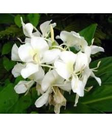 Biely zázvor - Hedychium coronarium - semená zázvoru - semiačka - 4 ks