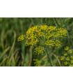 Kôpor Virling - semená kôpru - semiačka - 1 gr