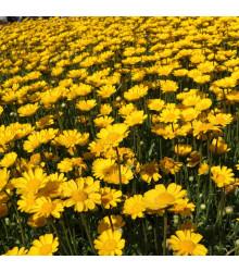 Margaréta nízka zlatožltá - Chrysanthemum multicaule - semená margaréty - semiačka - 0,4 gr