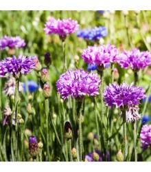 Nevädza poľná zmes - Centaurea cyanus mix - semená - 120 ks