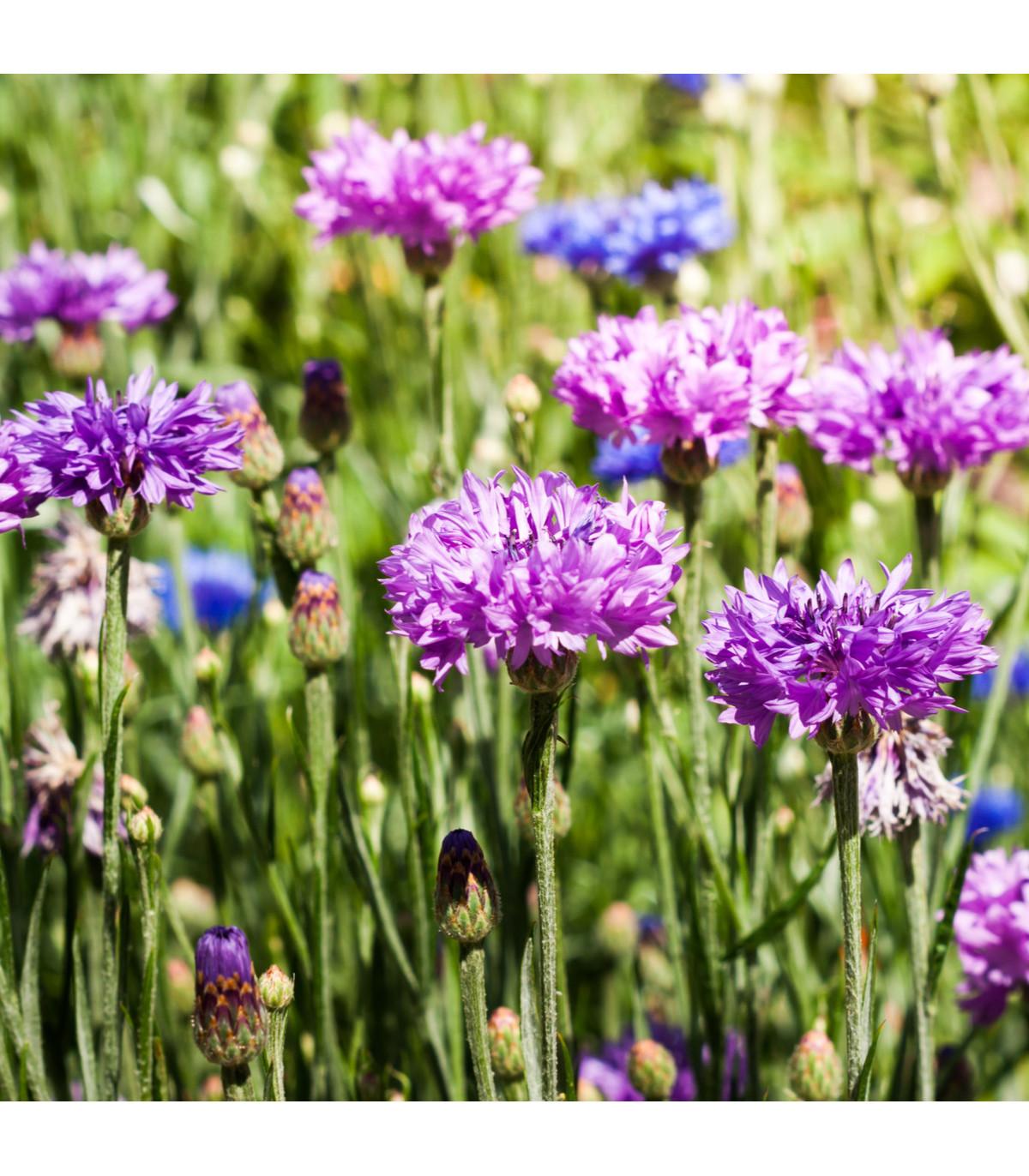 Nevädza poľná zmes - Centaurea cyanus - semená - 120 ks