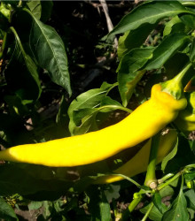 chilli Kajenské korenie zlaté - semená chilli - semiačka - 6 ks