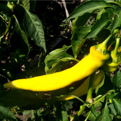 Chilli Kajenské korenie zlaté - Capsicum annuum - semená - 6 ks