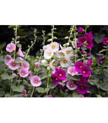 Topoľovka ružová zmes Simplex - Alcea rosea - semená - 25 ks