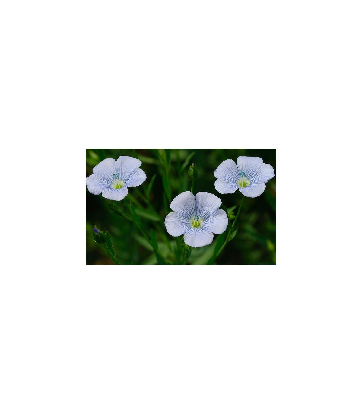 Ľan siaty - Linum usitatissimum - semená ľanu - semiačka - 1 g