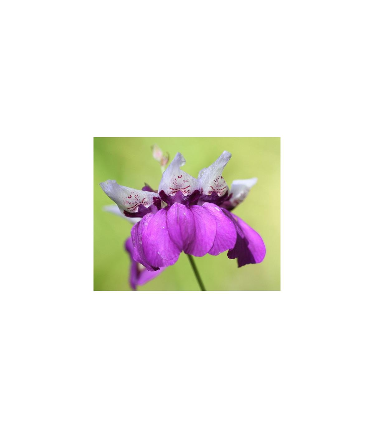 Kolinsia - Collinsia heterophylla - semená - 300 ks
