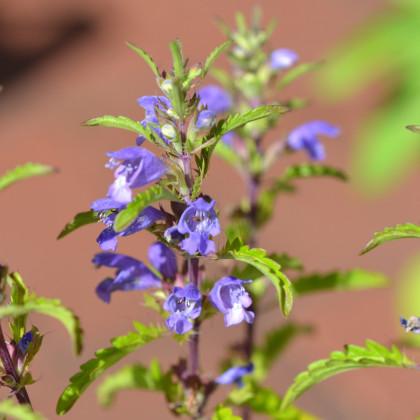 Fialka moldavská - Viola moldavica - semená fialky - semiačka - 0, 5 gr