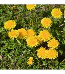 Púpava lekárska - Taraxacum offiicinalis - semená - 0,3 g