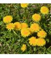 Púpava lekárska - Taraxacum ruderalia - semená púpavy - semiačka - 0,3 gr