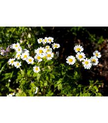 Rimbaba obyčajná - Chrysanthemum parthenium - semená - 15 ks