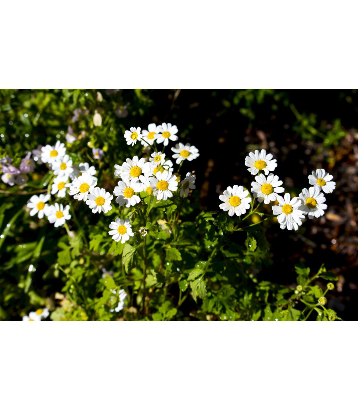 Rimbaba obyčajná - Chrysanthemum parthenium - semená rimbaby - semiačka - 15 ks