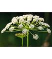 Trebuľka lesná - Anthriscus sylvestris - semená trebuľky - semiačka - 0,7 gr