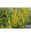 Lipkavec syridlový - Galium verum - semená - 0,5 g
