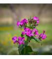 Mesačnica dvojročná fialová - Lunaria biennis - semená 50 ks