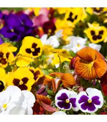 Sirôtka Hiemalis - zmes farieb- Viola wittrockiana - semená - 0,3 g