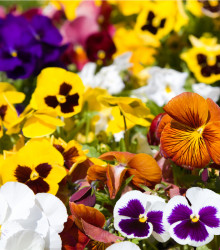 Sirôtka Hiemalis - zmes farieb- Viola wittrockiana - semená - 200 ks