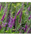 Trvalky Rozkvitnutá lesná lúka - zmes - semená - 0,9 g