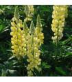 Vlčí bôb žltý - Lupina mnoholistá - Lupinus polyphyllus - semená vlčieho bôbu - 30 ks