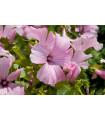 Slez pižmový - Malva moschata - semená - 50 ks