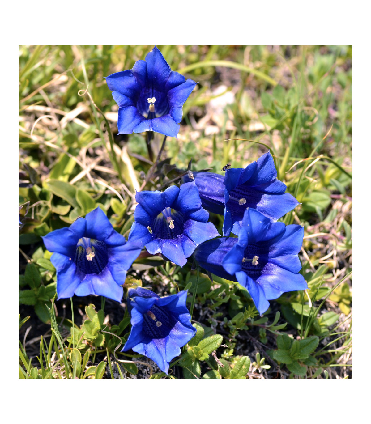 Horec bezbyľový - Gentiana acaulis - semená - 8 ks