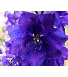 More about Stračia nôžka modrého odtiaňa - Deplhinium cultorum - semená stračej nôžky - semiačka - 50 ks