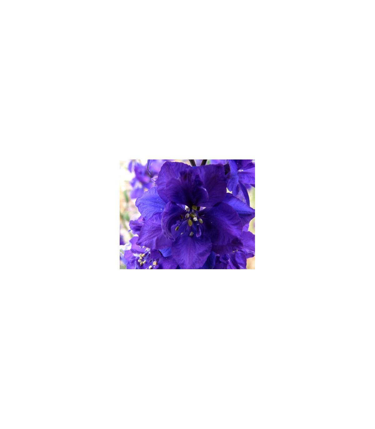 Stračia nôžka modrého odtiaňa - Deplhinium cultorum - semená stračej nôžky - semiačka - 50 ks