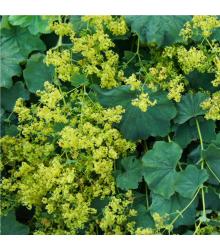 More about Alchemilka mäkká - Alchemilla mollis - semená - 20 ks