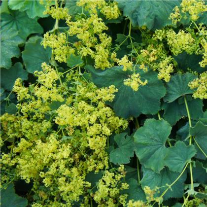 Alchemilka mäkká - Alchemilla mollis - semená alchemilky - semiačka - 20 ks