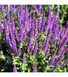 Šalvia belasá Blue Queen - Salvia nemorosa - semená - 50 ks