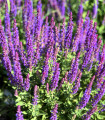 Šalvia belasá - Blue Queen - Salvia nemorosa - semená - 50 ks
