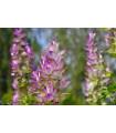 Šalvia muškátová - Salvia sclarea - semená - 50 ks