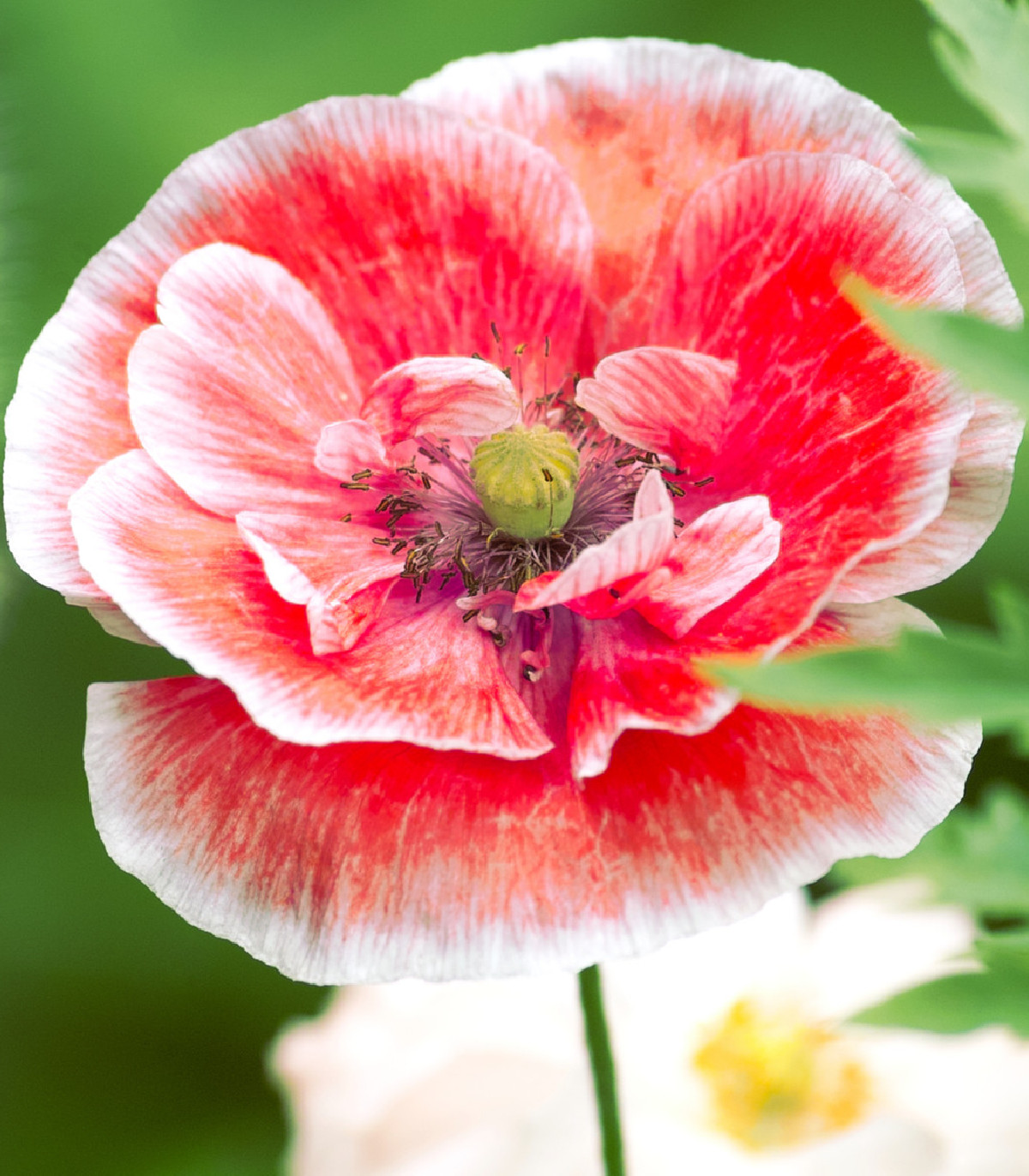 Vlčí mak zmes farieb - Papaver rhoeas - semená maku - semiačka - 200 ks