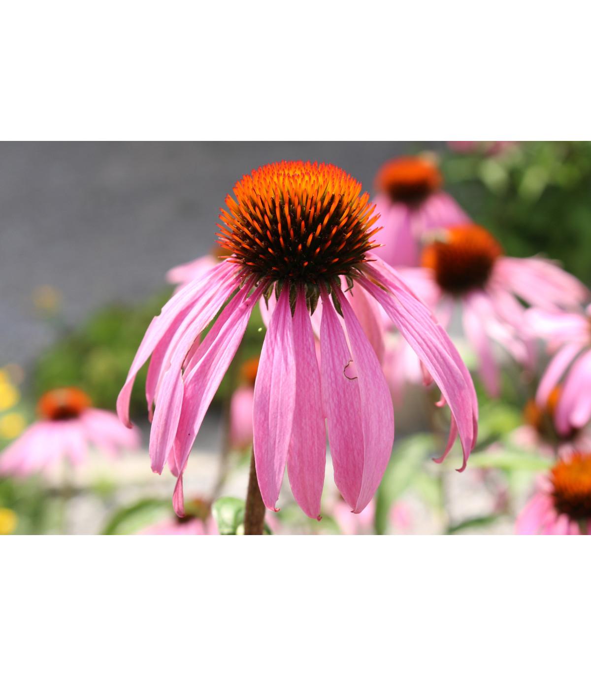 Echinacea bledá - Echinacea pallida - semená echinacey - 15 ks