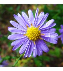 Astra alpínska modrá - Aster alpinus - semená - 70 ks