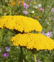 Rebríček túžobníkový žltý - Achillea filipendulina - semená rebríčka - semiačka - 0,5 gr