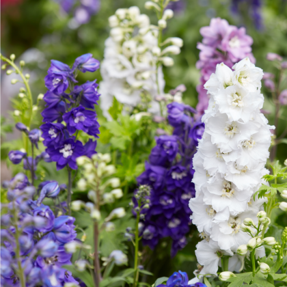 Stračia nôžka záhradná hyacintokvetá - zmes farieb - Delphinium ajacis - semená - 300 ks
