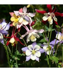 Orlíček veľkokvetý - zmes farieb - Aquilegia caerulea - semená orlíčka - semiačka - 250 ks