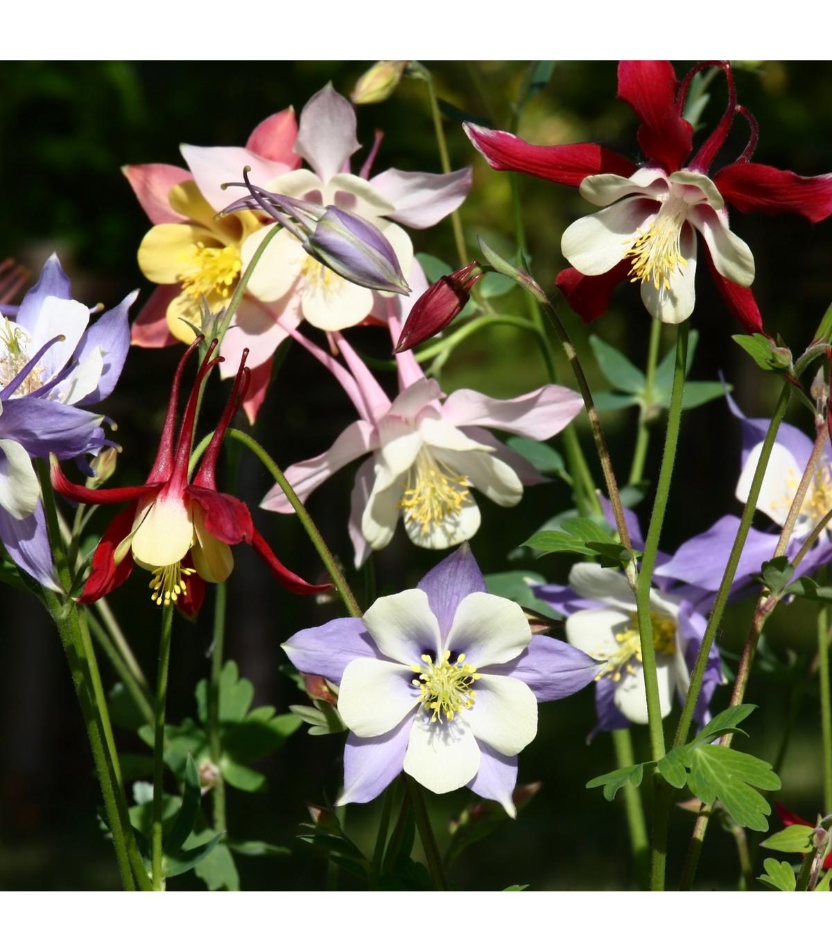 Orlíček veľkokvetý - zmes farieb - Aquilegia caerulea - semená - 250 ks