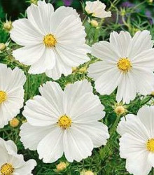 Krasuľka perovitá Biela senzácia - Cosmos bipinnatus - semená - 40 ks