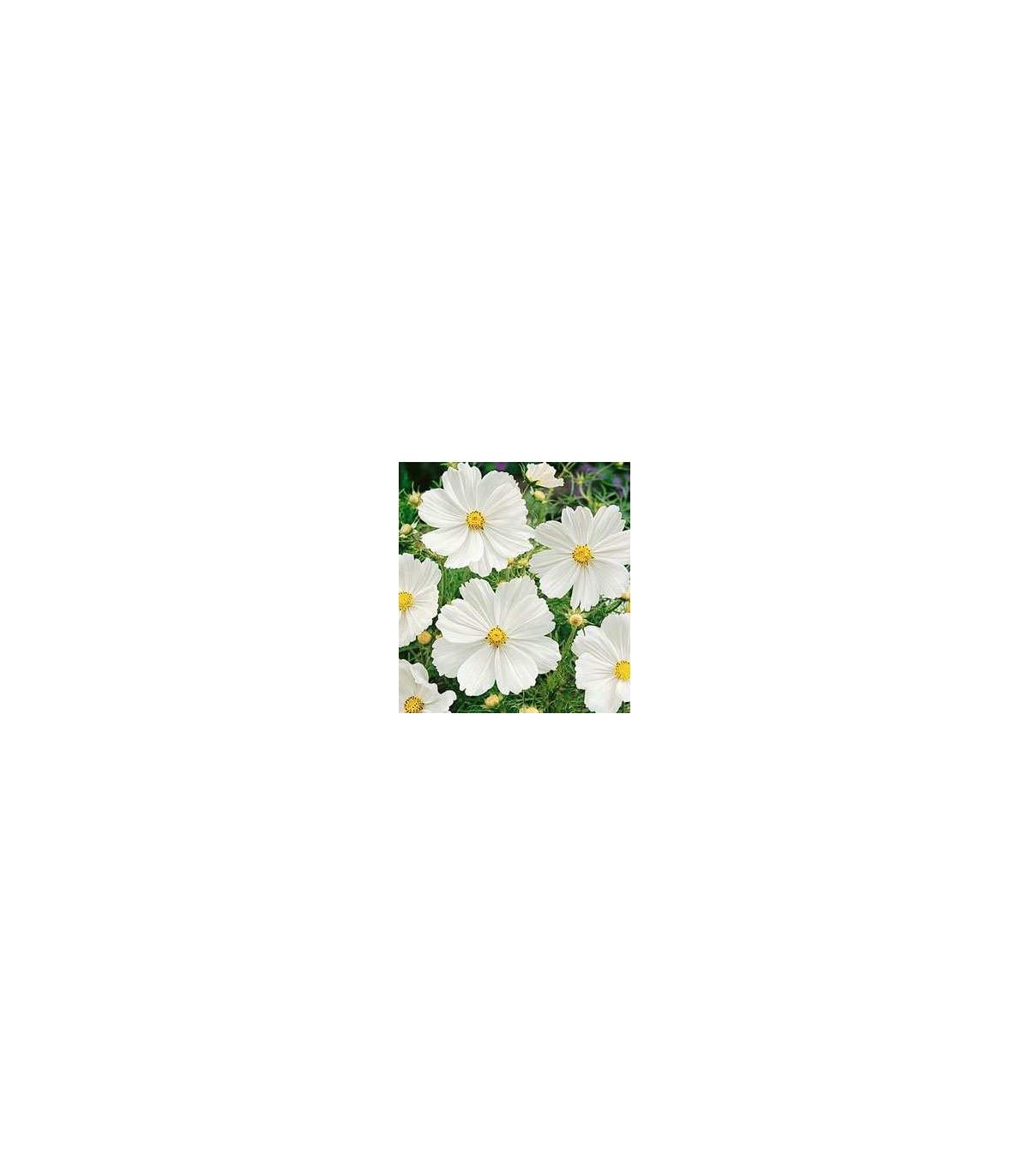 Krasuľka perovitá Biela senzácia - Cosmos bipinnatus - semená krasuľky - semiačka - 40 ks