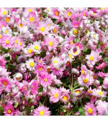 Časovka suchomázdritá - Rhodanthe manglesii - semená - 100 ks