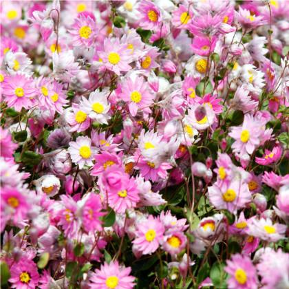 Časovka suchomázdritá - Rhodanthe manglesii - semená časovky - semiačka -100 ks