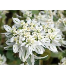 Mliečnikovka obrúbená - Euphorbia marginata - semená - 20 ks