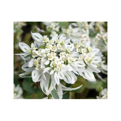 Mliečnikovka obrúbená - Sneh na horách - Euphorbia marginata - semená mliečnikovky - semiačka - 20 ks